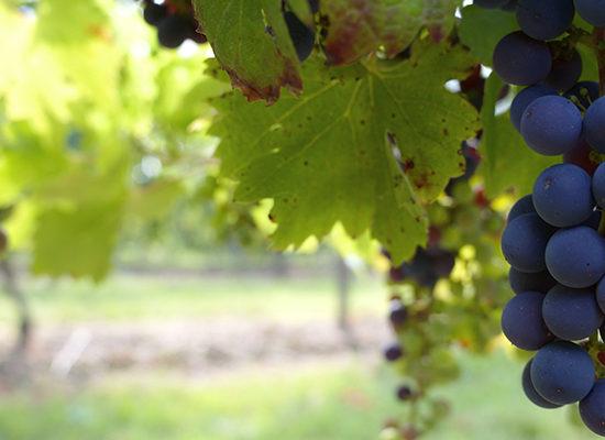 Grappe de Vin
