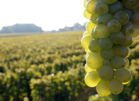 Grappe de Vin Blanc