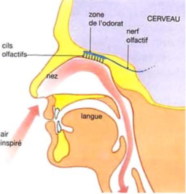 Système olfactif