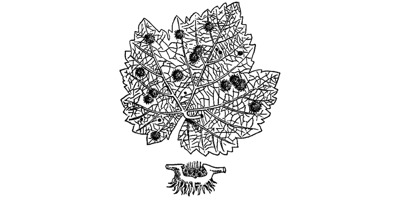 Le phylloxera des vignes