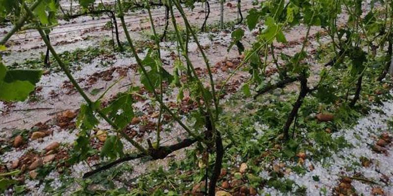 Dégâts de la grêle sur les vignes