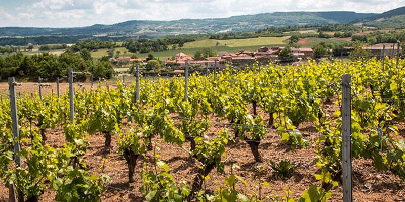 Vigne de vins volcaniques